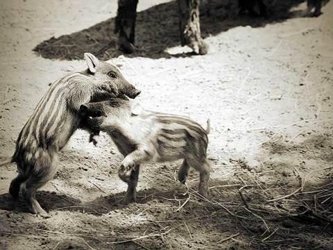 Wilde zwijnen baby's in DIerenrijk