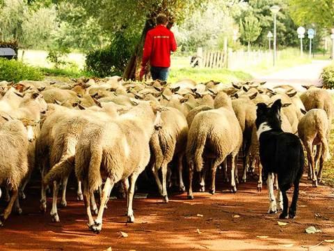 De The Big Sheep Tour onderweg in Geldrop