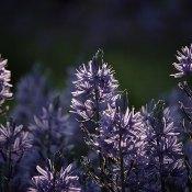 Fotoserie: De nog onbekende paarse bloem