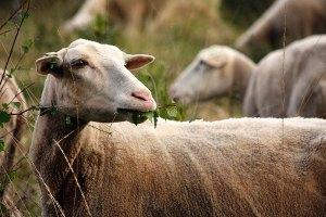 Fotoserie: Blote schapen