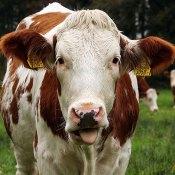 Fotoserie: Koeien die geen appels lusten