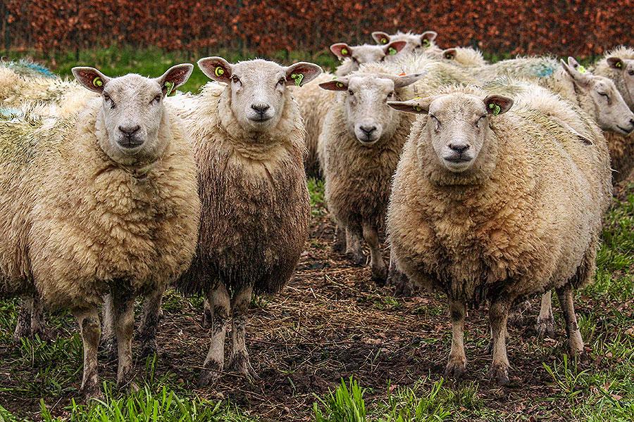 Verhaal halen bij de schapen