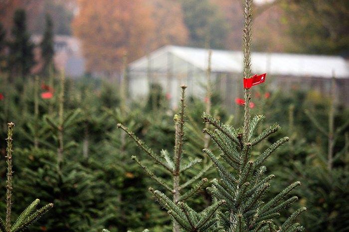 Kerstbomen scoren