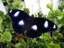 Kauno botanikos sode skelbiamos žavėjimosi drugeliais dienos