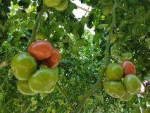 Kaip tinkamai laistyti daržoves šiltnamyje?