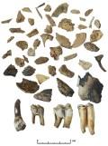 Smulkūs iš gyvenvietės kultūrinio sluoksnio išplautų gyvulių kaulų fragmentai. Ž. Montvydo nuotr.
