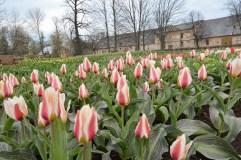 Vienas didžiausių Lietuvos tulpynų skelbia žydėjimo savaitės pradžią