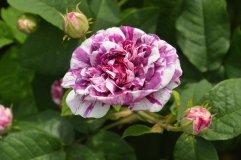 VDU botanikos sode – istorinių rožių žiedai