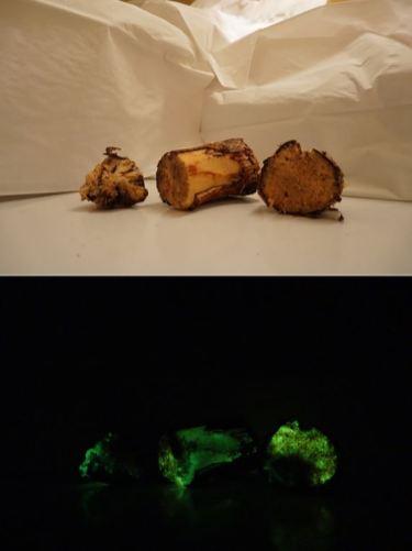 Lazdyno mediena, stipriai pažeista bioliuminescencinio grybo. Astos Malakauskienės nuotr.