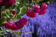 Didžiausias Lietuvoje rožynas kviečia grožėtis žiedų jūra