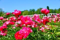 Vėlyvas pavasaris bijūnams patiko: išplėstoje VDU Botanikos sodo kolekcijoje šiemet išaugo milžinai