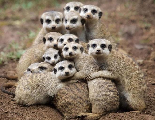 Look after Each Other - Several Meerkats Group Hugging
