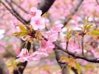神奈川 河津桜
