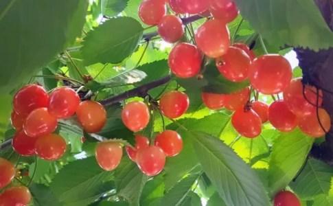 桜とさくらんぼの違い