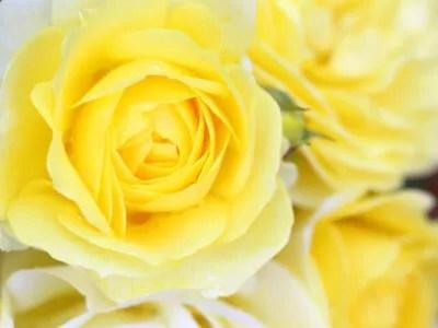 黄色い バラ