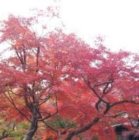京都の嵐山、紅葉の見ごろの時期は?どこのお寺がいい?おすすめは?