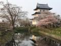 松前公園の桜 2016年の開花予想は?見ごろは?まつりの期間は?