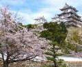 姫路城の桜 2016年開花と満開予想?見頃は?ライトアップの時期は?
