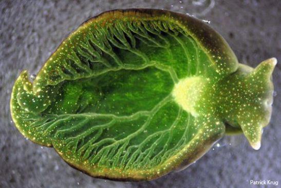 Зеленый морской слизень