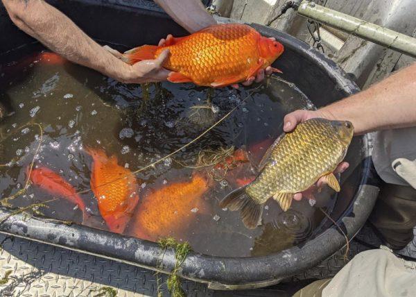 Гигантская золотая рыбка