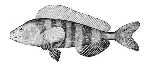 縞花魚-魚皮有條文