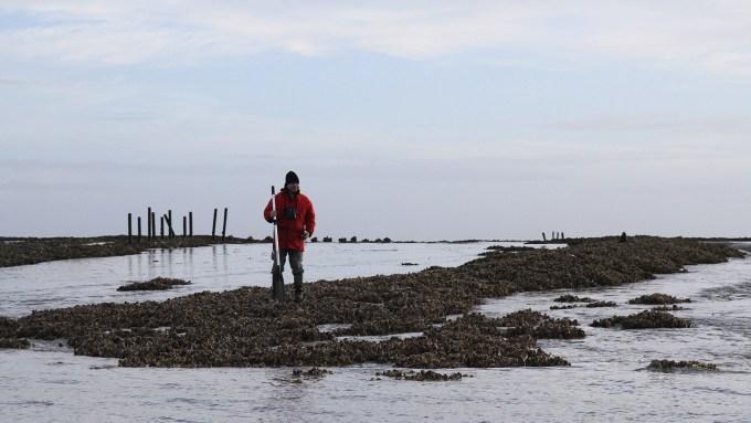 Étude des crassats d'huître - Life baie de l'Aiguillon