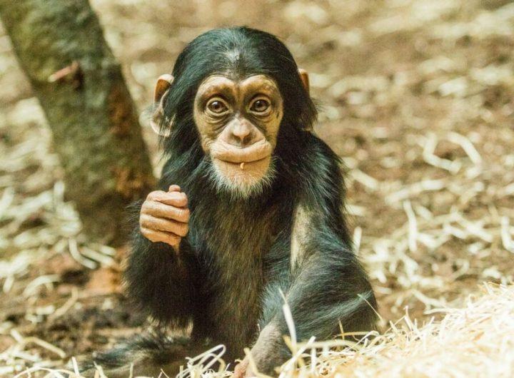 Mlade simpanze hornoguinejskeho foto M.Vlckova e1611847067220
