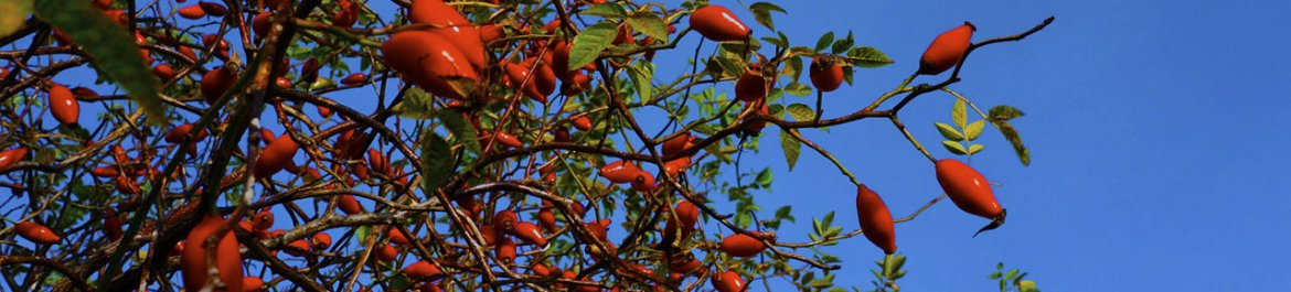 rose-hips growing in the wild