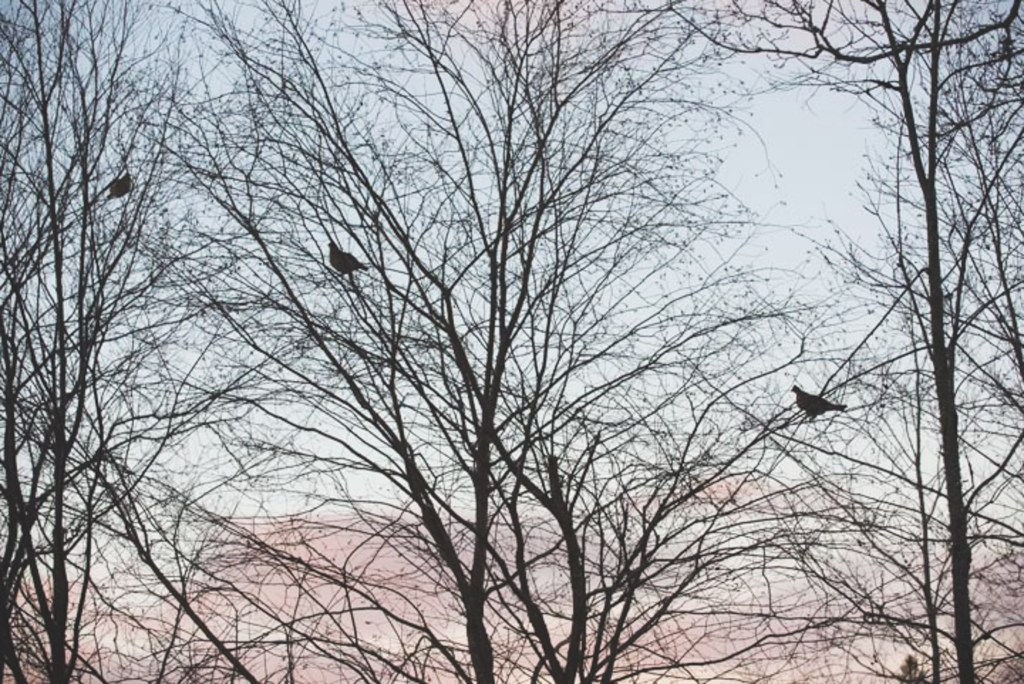 Three grouse silhouetted in trees.