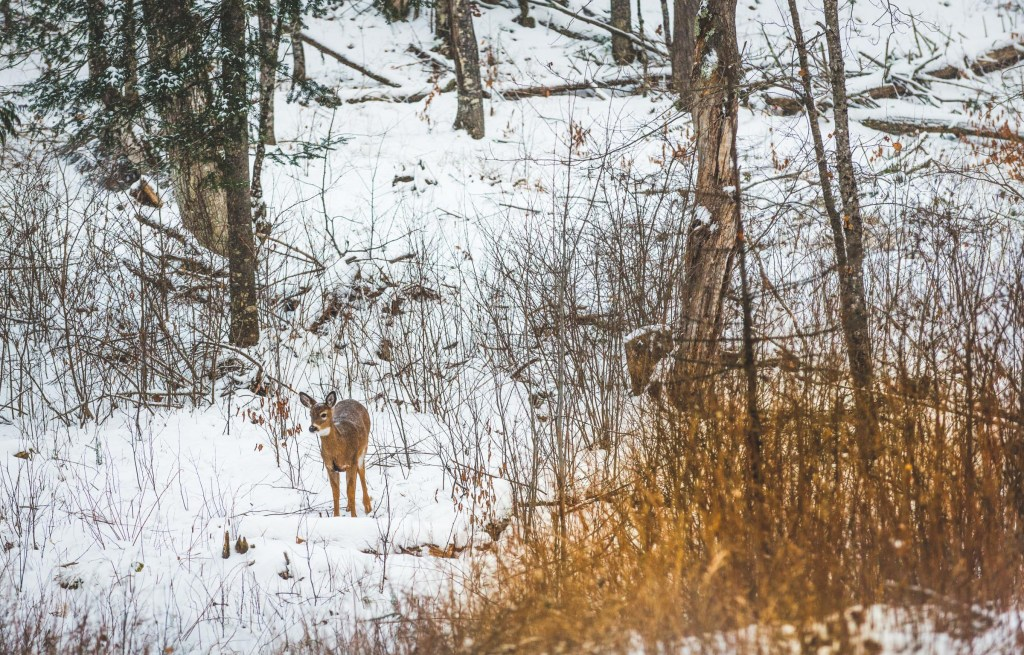 Deer in snow in forest