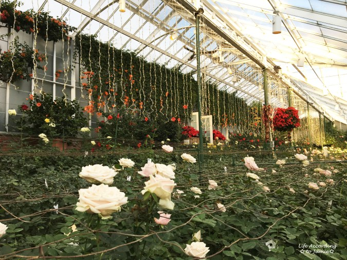 longwood-gardens-roses