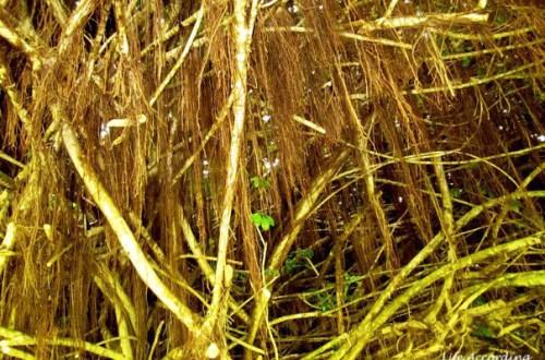 Banyan Tree - Roots