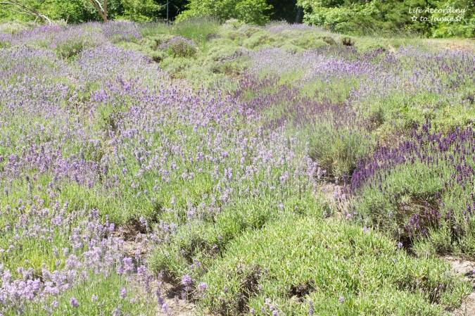 Cape Cod Lavender Farm 2