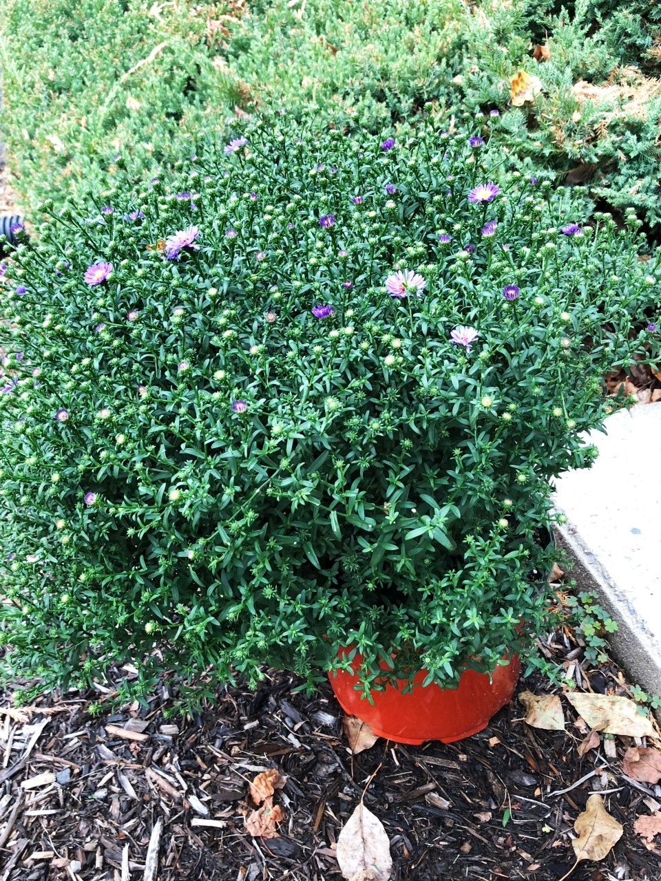 Aster Plant
