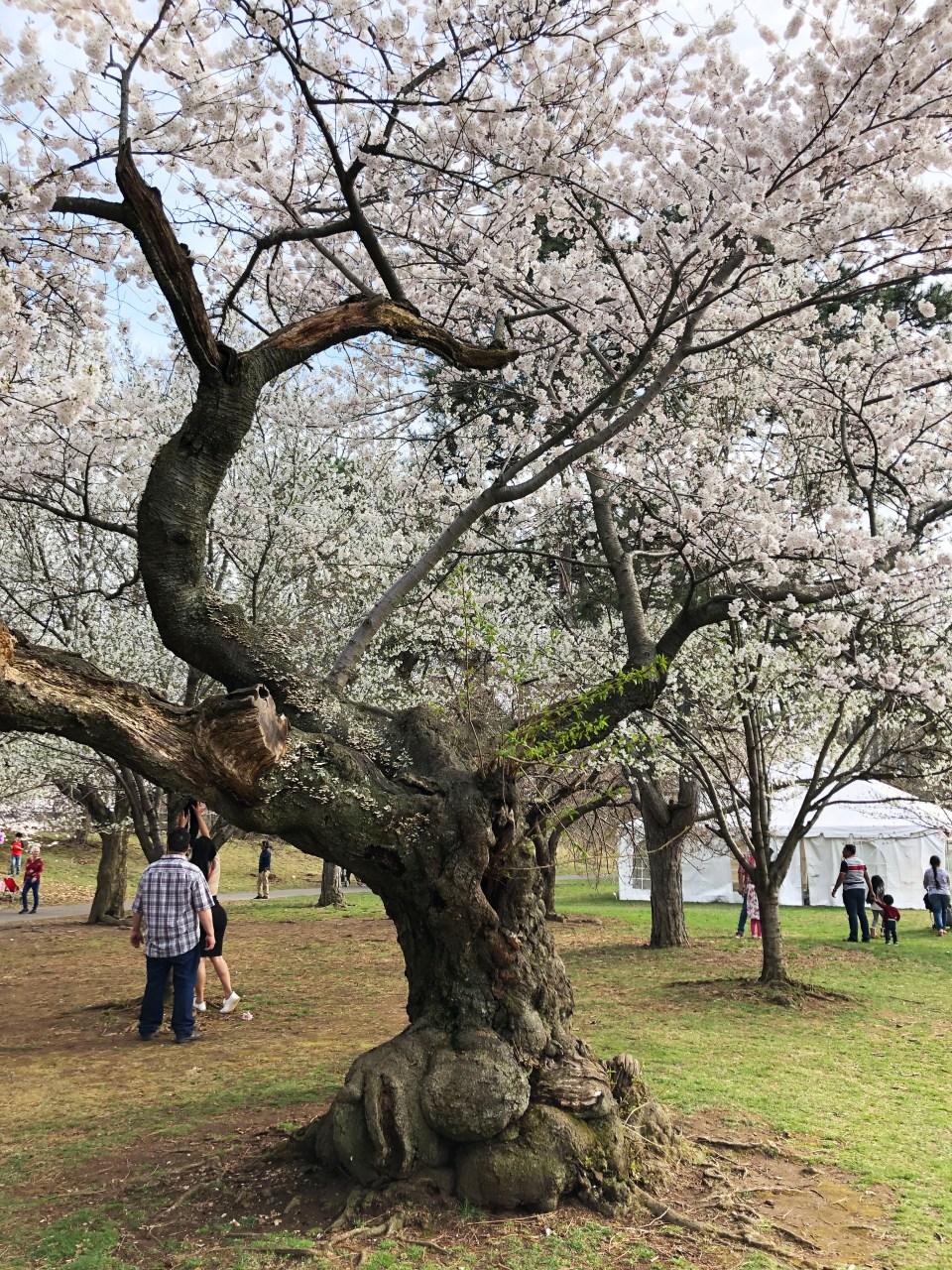 Branch Brook Park - Cherry Blossom Festival 11