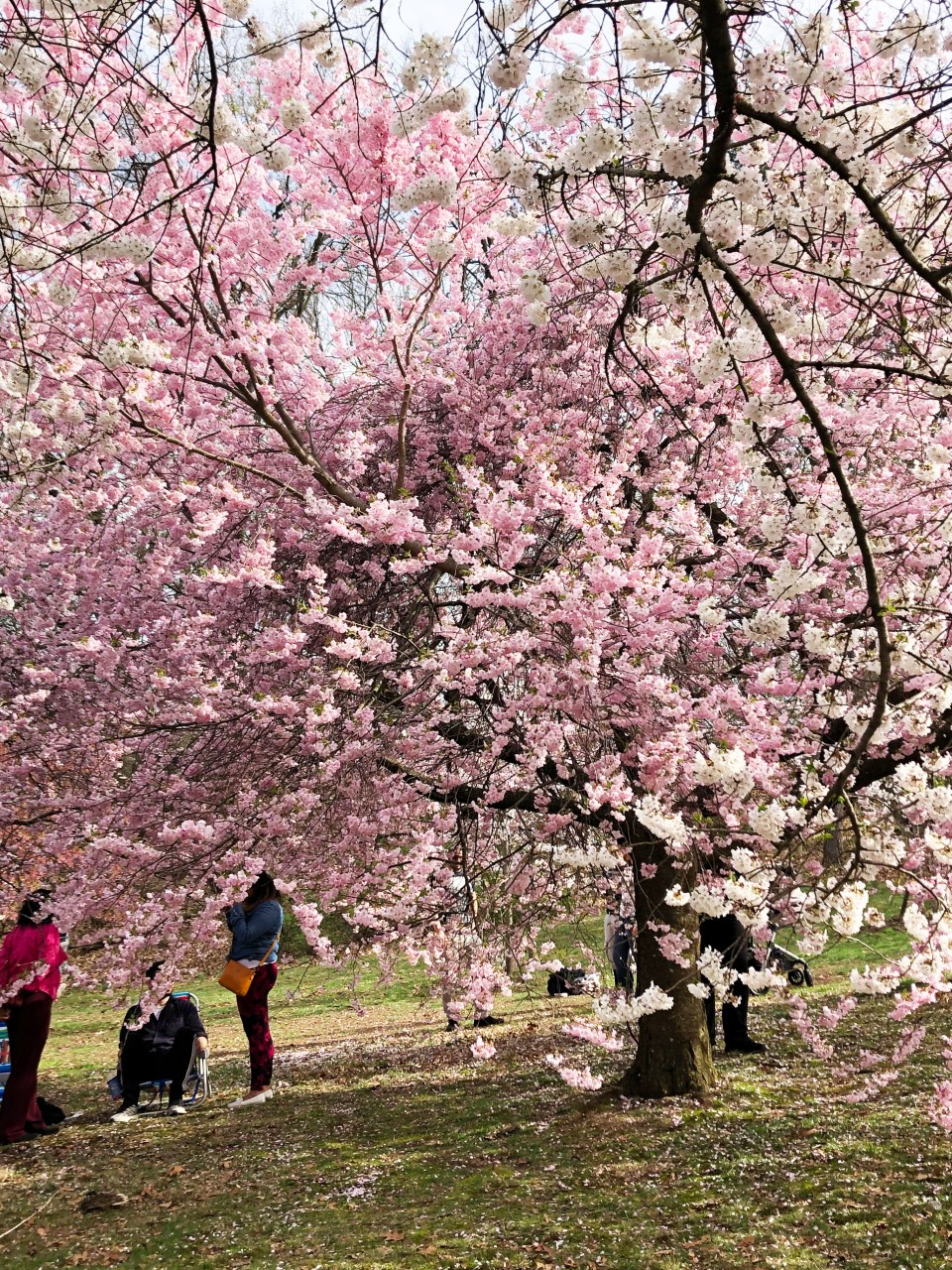 Branch Brook Park - Cherry Blossom Festival 18
