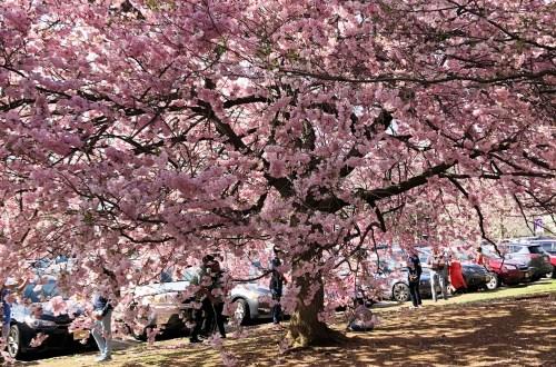 Branch Brook Park - Cherry Blossom Festival