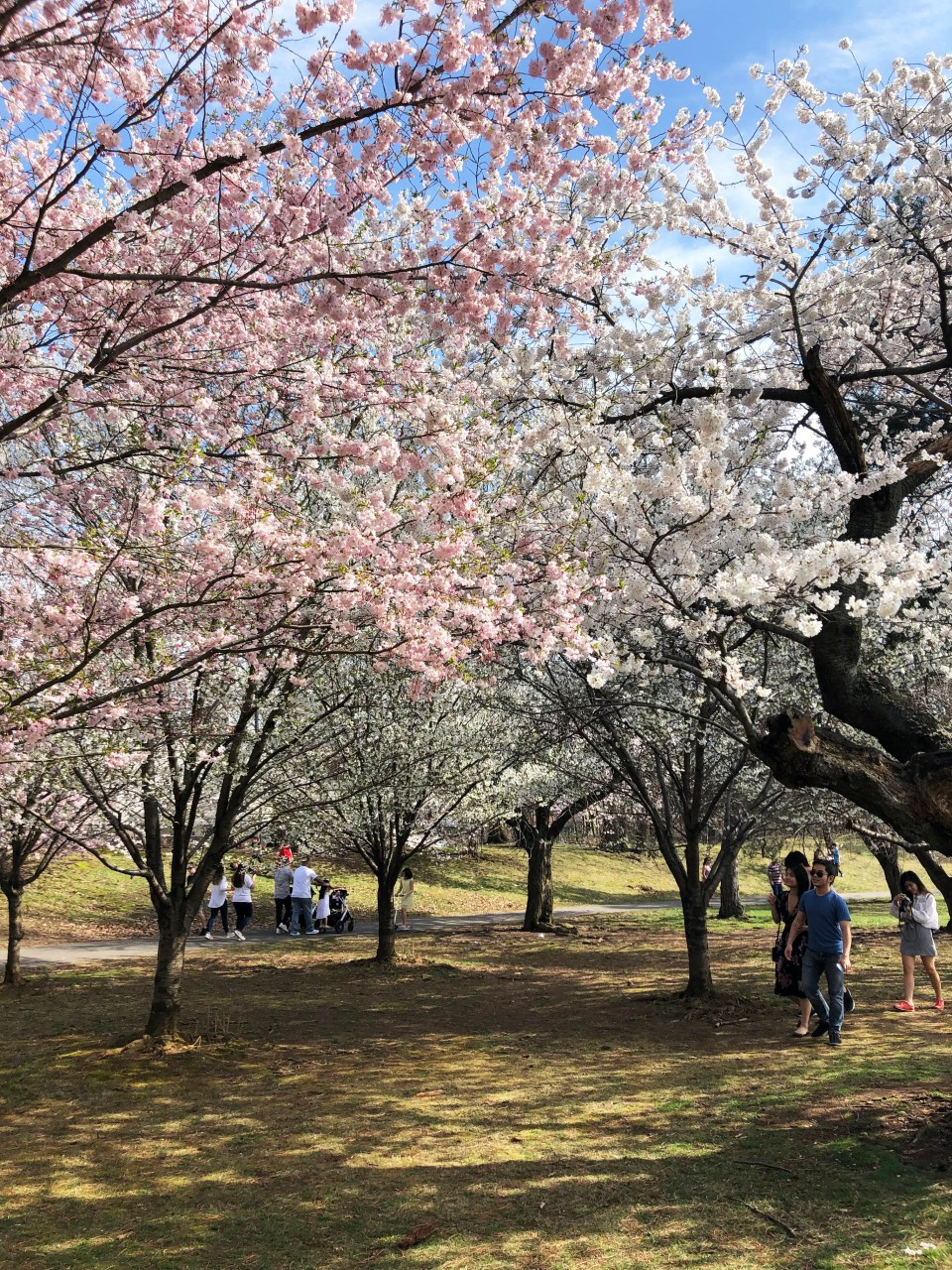 Branch Brook Park - Cherry Blossom Festival 3