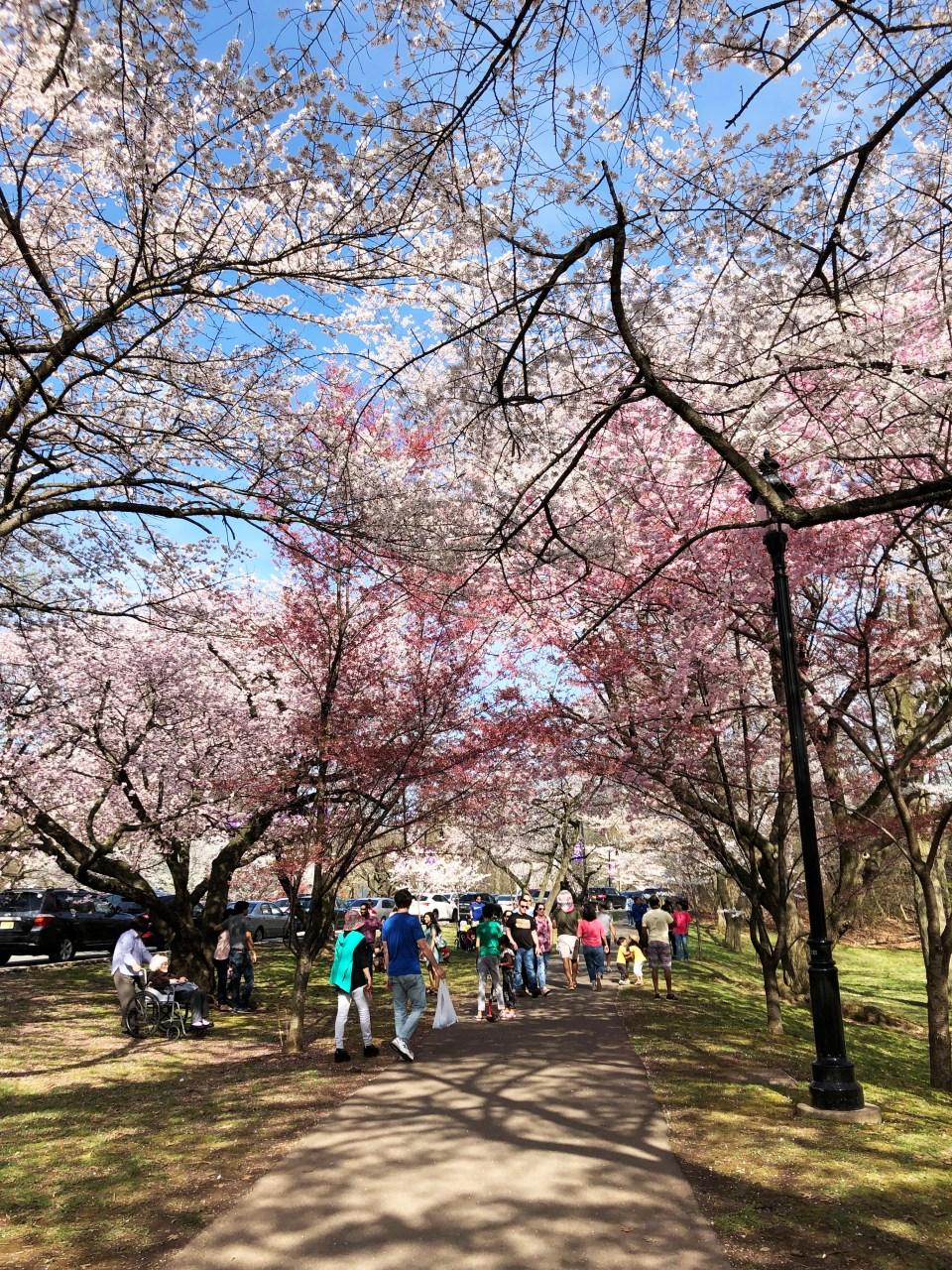 Branch Brook Park - Cherry Blossom Festival 8