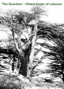 2014 oldest_cedar_of_lebanon_known_as_the_guardian