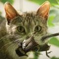 domestic cat satisfying hunter urges