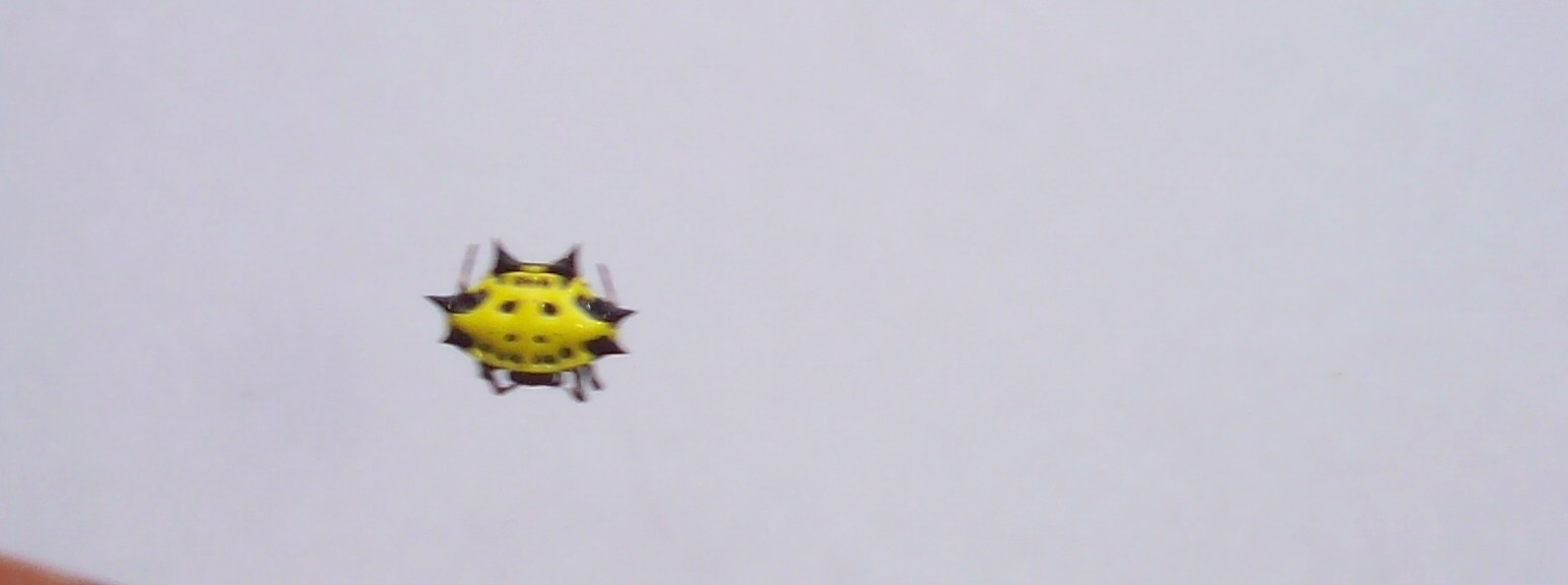 smiley face crab spider
