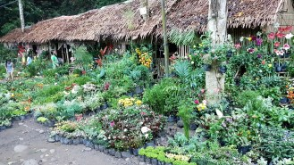 mambukal_plantsforsale