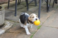 We taught Alfie fetch!