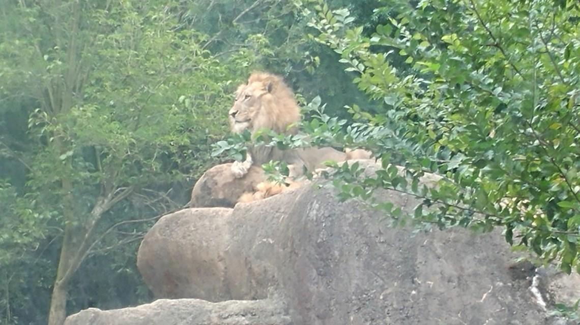 Gorgeous Lion
