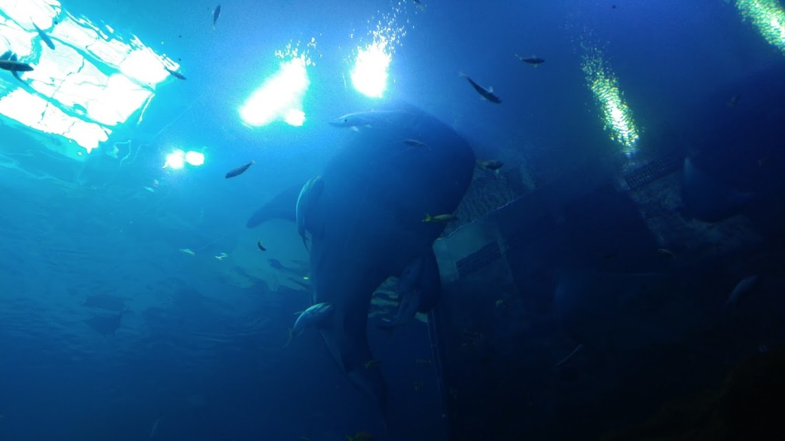Another shot of the whale shark