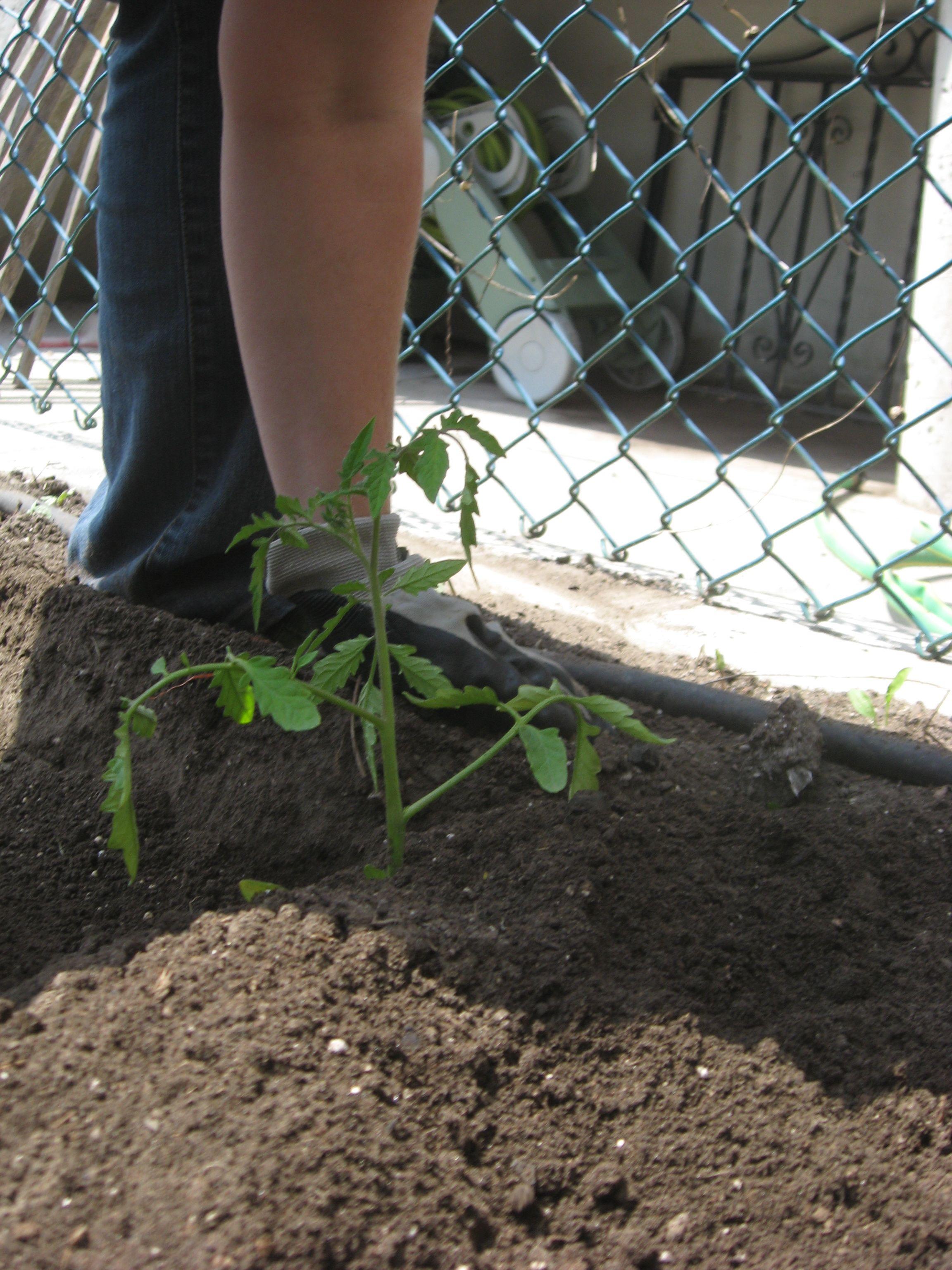 Planting some tomato.