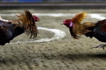 Sabong Cock  Fighting in the Philippines