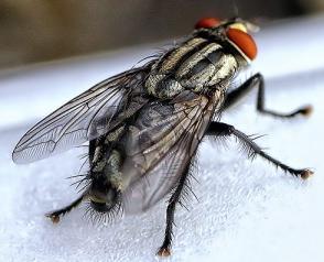 lalat sering dianggap Serangga yang Mengganggu Kesehatan