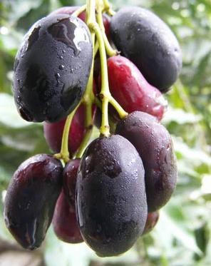 buah jamblang berkhasiat untuk mencegah anak mengompol